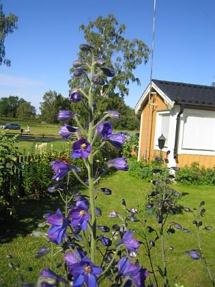 Riddarsporre Trädgårdsriddarsporre 2012-07-03 IMG_0053 Granudden Färjestaden Öland