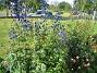 Praktriddarsporre Praktriddarsporre 2012-07-03 IMG_0011