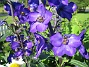 Trädgårdsriddarsporre Trädgårdsriddarsporre 2012-07-03 IMG_0031