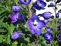 Trädgårdsriddarsporre (2012-07-03 IMG_0042)