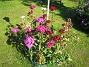 Borstnejlika Borstnejlika 2012-07-03 IMG_0050