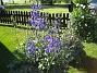 Trädgårdsriddarsporre (2012-07-03 IMG_0051)