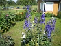 Riddarsporre Riddarsporre 2012-07-07 IMG_0025