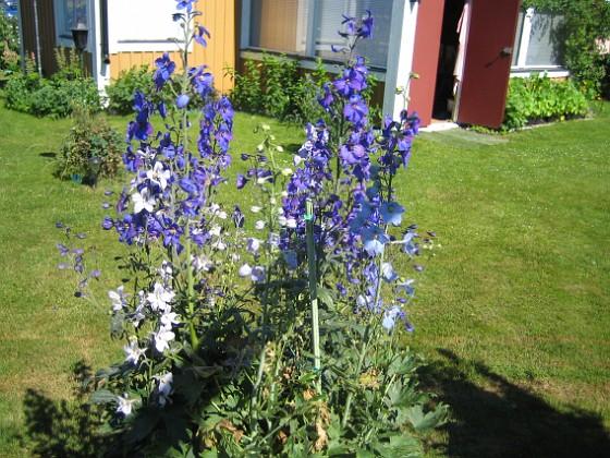 Riddarsporre &nbsp 2012-07-09 IMG_0020 Granudden Färjestaden Öland