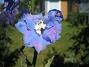 Riddarsporre  2012-07-09 IMG_0022