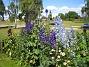 Riddarsporre  2012-07-15 IMG_0057