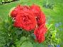 Rosor  2012-07-22 IMG_0012