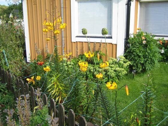 Liljor &nbsp 2012-08-07 IMG_0033 Granudden Färjestaden Öland