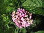 Hortensia  2012-08-07 IMG_0074