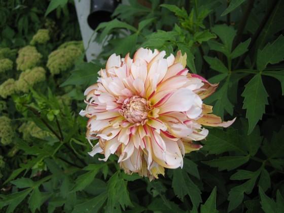 Dahlia { De är lite trasiga. Jag tror att jag har gäster som käkar på mina blommor... }