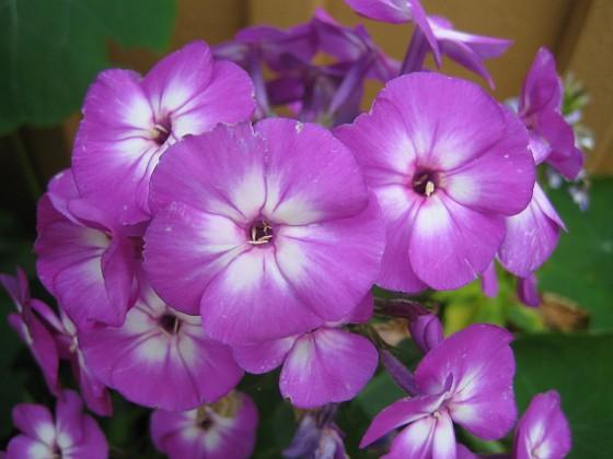 Höstflox { En lila Höstflox i närbild. }