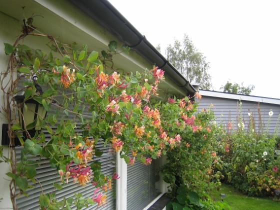 Kaprifol { Min Kaprifol blommar för andra gången i år. Den börjar täcka mina altanfönster. }