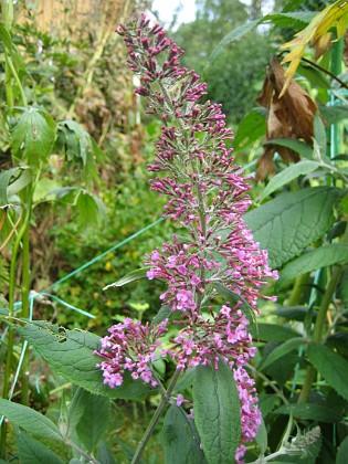 Fjärilsbuske { Fjärilsbuske - Budleia Davidii. Trodde inte jag skulle få några i år, men här är den första blomman. }