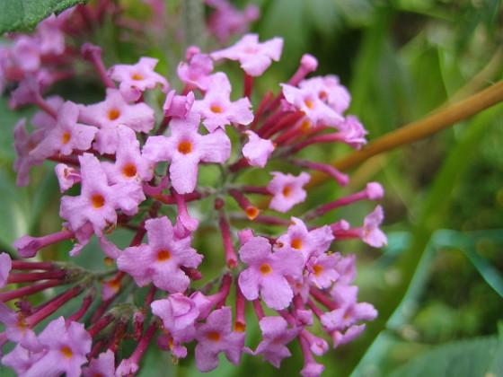 Fjärilsbuske { Tanken med att ha dessa Fjärilsbuskar, är att de doftar underbart. }
