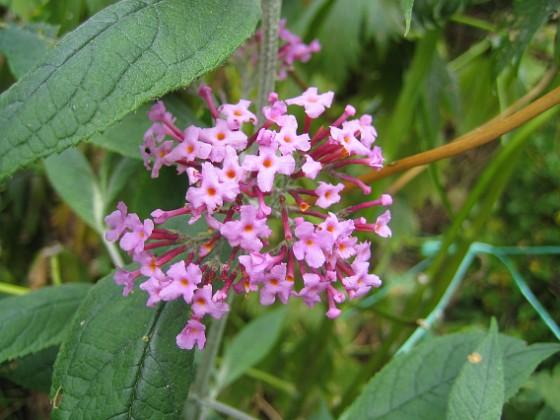 Syrenbuddleja { Syrenbuddleja kallas de också - mina vackra Fjärilsbuskar. }