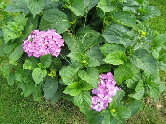 Hortensia { Två rödlila blommor har jag hittills fått på mina Hortesior. }