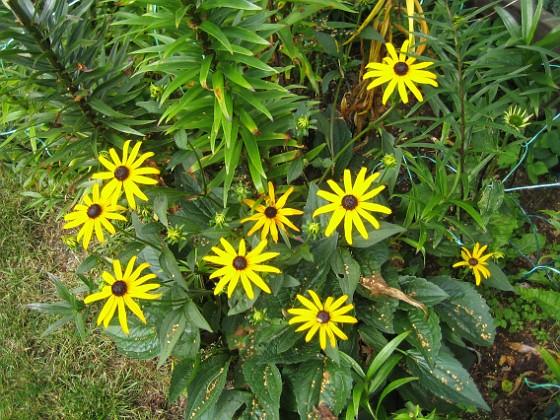 Stålrudbeckia { Denna Echinacea har gula blommor, och ser ut som små solstrålar - därav namnet. }