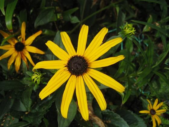 Strålrudbeckia { Jag har satt en hel del olika solhattar, men denna är den enda som tycks komma tillbaka. }