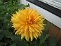 Dahlia Mina Dahlior kom lite senare i år. 2012-08-16 IMG_0001