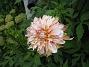 Dahlia De är lite trasiga. Jag tror att jag har gäster som käkar på mina blommor... 2012-08-16 IMG_0004