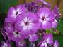 Höstflox En lila Höstflox i närbild. 2012-08-16 IMG_0009