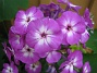 Höstflox En lila Höstflox i närbild. 2012-08-16 IMG_0010
