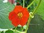 Krasse Mina Krasse växer närmast som ogräs. 2012-08-16 IMG_0012