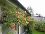 Kaprifol Min Kaprifol blommar för andra gången i år. Den börjar täcka mina altanfönster. 2012-08-16 IMG_0013
