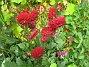 Dahlior Här var det röda Dahlior. 2012-08-16 IMG_0020