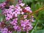 Fjärilsbuske Tanken med att ha dessa Fjärilsbuskar, är att de doftar underbart. 2012-08-16 IMG_0027