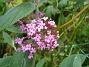 Buddleja Och dessa Fjärilsbuskar är vackra att se på också. 2012-08-16 IMG_0028