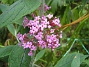 Syrenbuddleja Syrenbuddleja kallas de också - mina vackra Fjärilsbuskar. 2012-08-16 IMG_0029