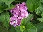 Hortensia  2012-08-16 IMG_0031