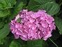 Hortensia  2012-08-16 IMG_0032