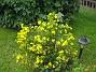 Ölandstsok Den här gula Ölandsoken lär kunna bli över 2 meter hög. 2012-08-16 IMG_0034
