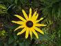 Strålrudbeckia  2012-08-16 IMG_0036