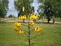 Gul Tigerlilja Citronella heter denna gula Tigerlilja. 2012-08-16 IMG_0040