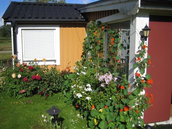 Vinkel Krasse, Höstflox och Dahlior.&nbsp 2012-09-01 IMG_0002 Granudden Färjestaden Öland