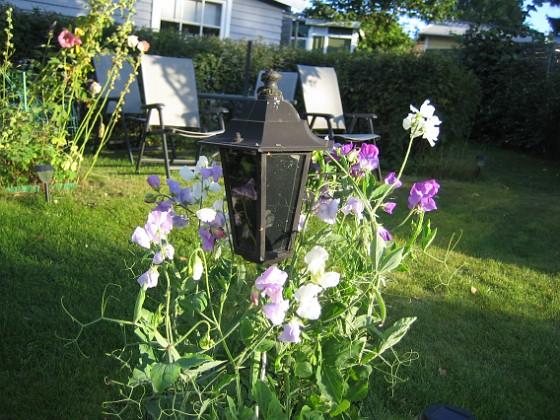 Luktärt Det här är också en av de fem kameror som förmedlar bilder till min hemsida. 2012-09-01 IMG_0018 Granudden Färjestaden Öland