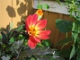 Dahlia  2012-09-01 IMG_0008