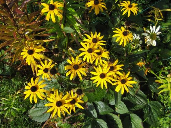 Strålrudbeckia { Jag satte mängder av Solhattar, men dena gula variant är den enda som har klarat sig. }