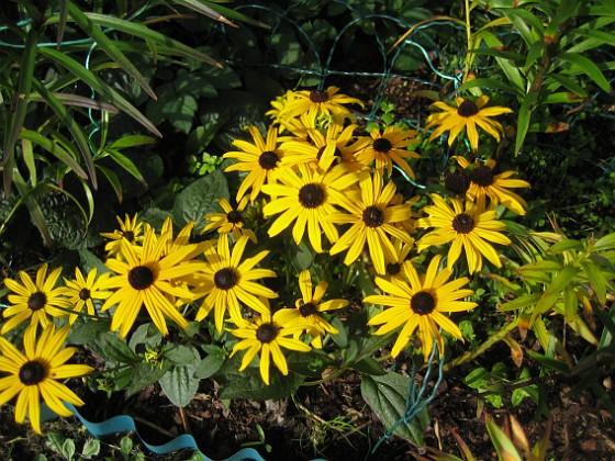 Strålrudbeckia { De är mycket tacksamma och står kvar och blommar länge på hösten. }