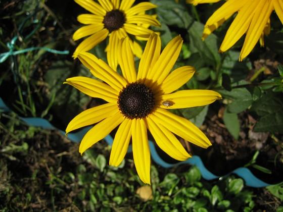 Strålrudbeckia De ser verkligen ut som små solstrålar.&nbsp 2012-09-29 IMG_0005 Granudden Färjestaden Öland