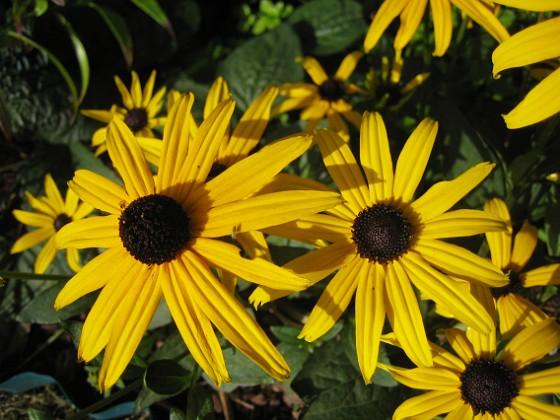 Strålrudbeckia Och de är väldigt gula.&nbsp 2012-09-29 IMG_0006 Granudden Färjestaden Öland