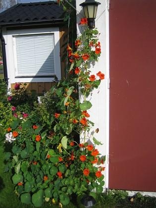 Krasse Mängder av blommor i skiftande färger.&nbsp 2012-09-29 IMG_0011 Granudden Färjestaden Öland