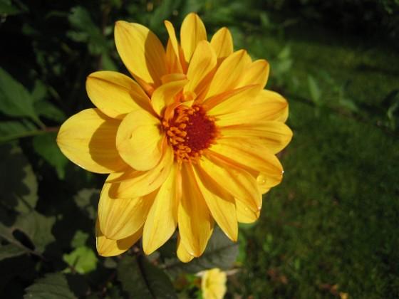 Dahlia { Det är ganska glest mellan Dahliorna men några få vackra blommor har jag. }