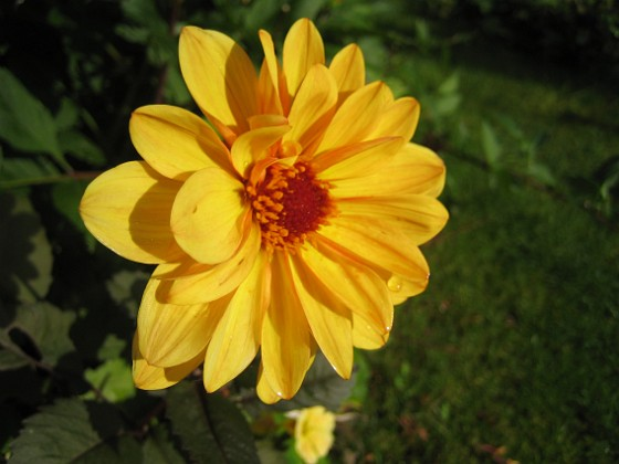 Dahlia { Den här blomman blir väldigt fin i solskenet. }