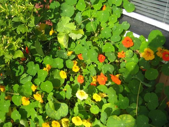 Krasse Dessa krasse är faktiskt ditsatta i blomlådor som står ovanpå rabatten.&nbsp 2012-09-29 IMG_0016 Granudden Färjestaden Öland