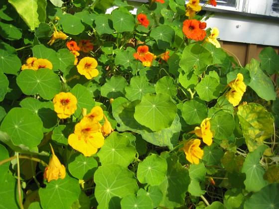 Krasse Härunder skall det bli Tulpaner till våren.&nbsp 2012-09-29 IMG_0018 Granudden Färjestaden Öland
