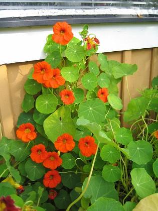 Krasse Jag har alltid haft problem vid altanen. Jag behöver något som blommar på sommaren också.&nbsp 2012-09-29 IMG_0019 Granudden Färjestaden Öland